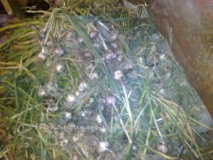 Фото семена и посадочный материал (черенки, чубуки) семена озимого чеснока сорт
