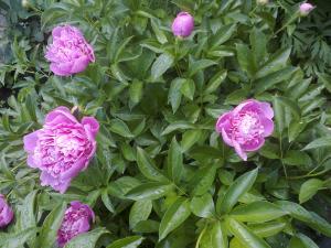 Фото другие саженцы, сеянцы - описания, фото, цены пионы - рассада (цвет розовый) 30 гр - штука.