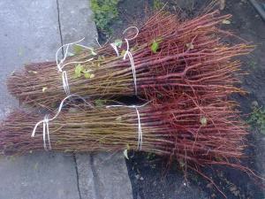 Фото подвои (корни) для саженцев подвои для косточковых (персик, абрикос) - оптом с доставкой