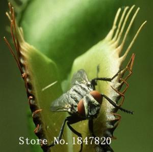 Фото   Венера Мухоловка 100шт.семена