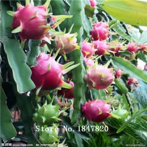 Фото  Экзотический Рitaya 200шт. семена