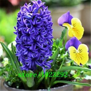 Фото Экзотические растения Гиацинт восточный 50шт.семена