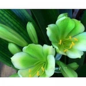 Фото Экзотические растения Разноцвет clivia 10шт.семена