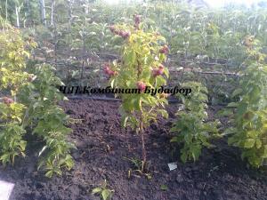 Фото другие саженцы, сеянцы - описания, фото, цены Малина-дерево (сорт Крепыш и Таруса)