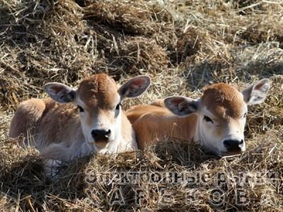Комбикорм предстартер для телят 0-2 мес (СП 21%)
