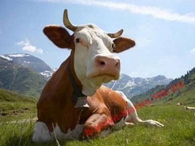 Фото ПРЕМИКСЫ Премикс «Шенмикс Ков Милк» дойные коровы