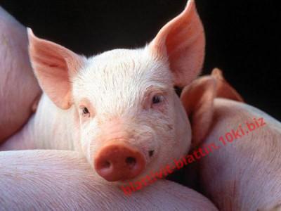 Фото ПРЕМИКСЫ Премикс «ШенМикс Пиг Стар» 1% (для поросят от 0 до 40 кг)