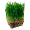 Семена газоных трав