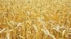 Семена яровых зерновых