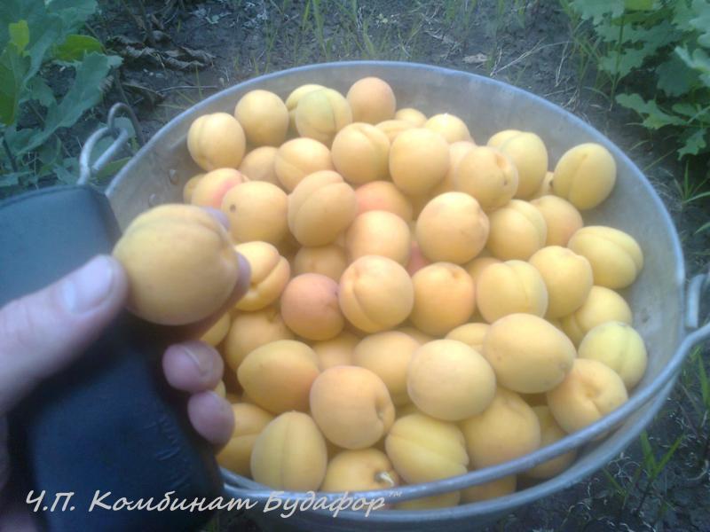 """саженцы абрикоса сорт """" персиковый"""", """"лунка"""" и """"обыкновенного"""" - недорого."""
