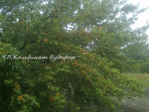 Фото другие саженцы, сеянцы - описания, фото, цены саженцы абрикоса сорт