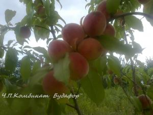 Фото другие саженцы, сеянцы - описания, фото, цены Саженцы персика сорт
