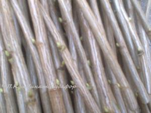 Фото семена и посадочный материал (черенки, чубуки) черенки чёрной, красной смородины - посадочный материал