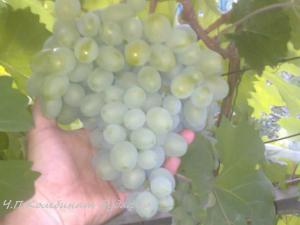 Фото Виноград - саженцы, сорта, описания, цены. саженцы винограда