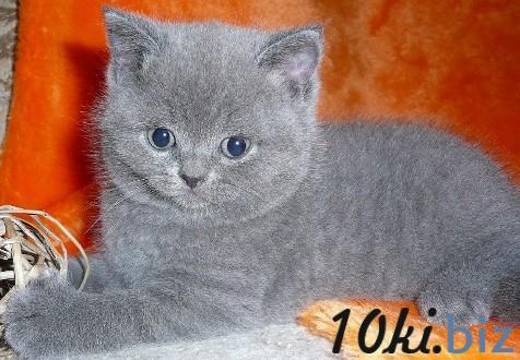 Прямоухие и вислоухие котята от прекрасных производителей