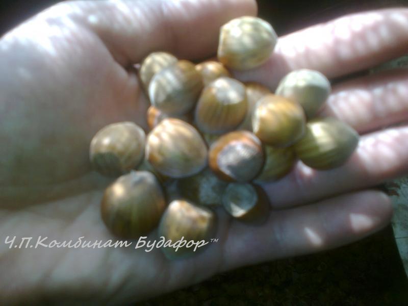 саженцы фундука (лещина, лесной орех)