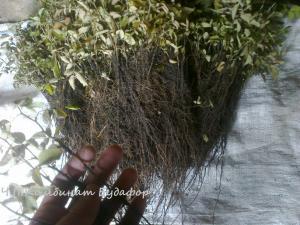 Фото подвои (корни) для саженцев Сеянцы шиповника подвой для роз