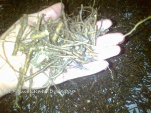 Фото Кроме саженцев  корни шиповника 1 кг - 0.5 кг - 100 гр для лечения