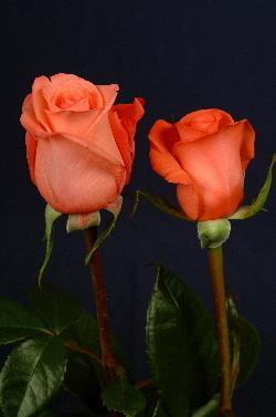 Роза MOVIESTAR ( Мувистар)