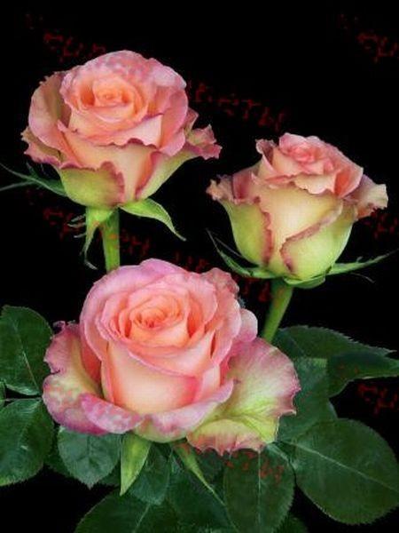 Роза Duett ( Дуэт)
