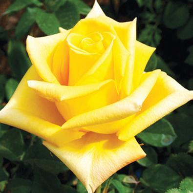 Роза Махана
