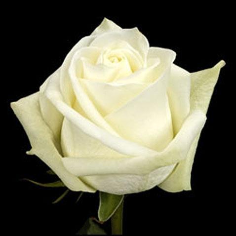Роза Polar star ( Полар Стар)