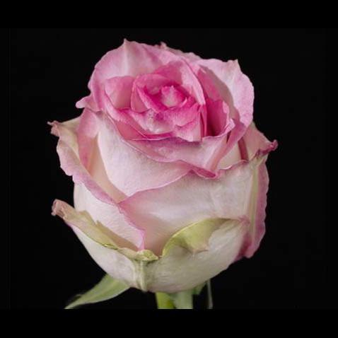 Роза Esperance ( Эспиранс)