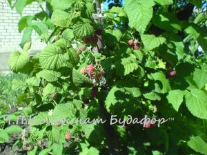 Фото другие саженцы, сеянцы - описания, фото, цены Саженцы малины сорт