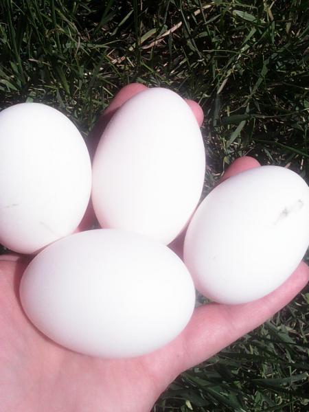 Яйцо инкубационное породы Геркулес