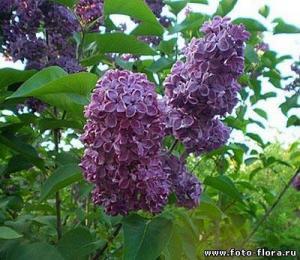 Фото НАСТОЙКИ Сирень(цветы) 250гр.