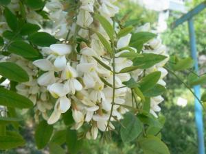 Фото НАСТОЙКИ Акация(цветы) 250гр.