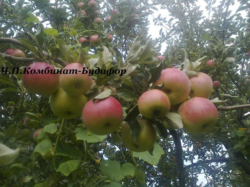 Саженцы яблони старых надёжных сортов яблок, проверенные временем и поколениями