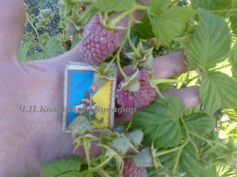 Малина-дерево (сорт Крепыш и Таруса)