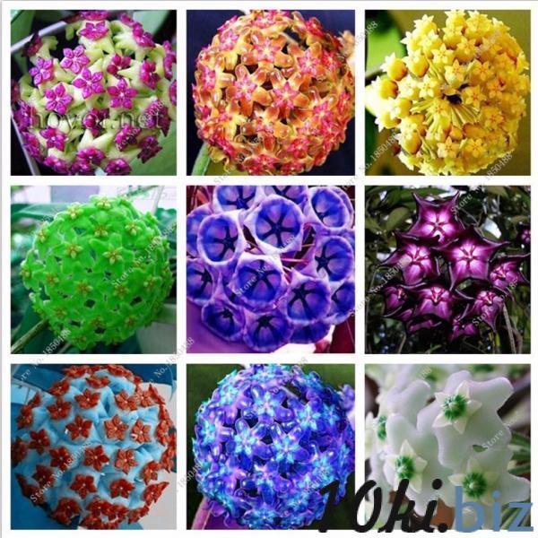 Hoya мясистые 100шт. семена купить в Ровно - Садовые растения с ценами и фото