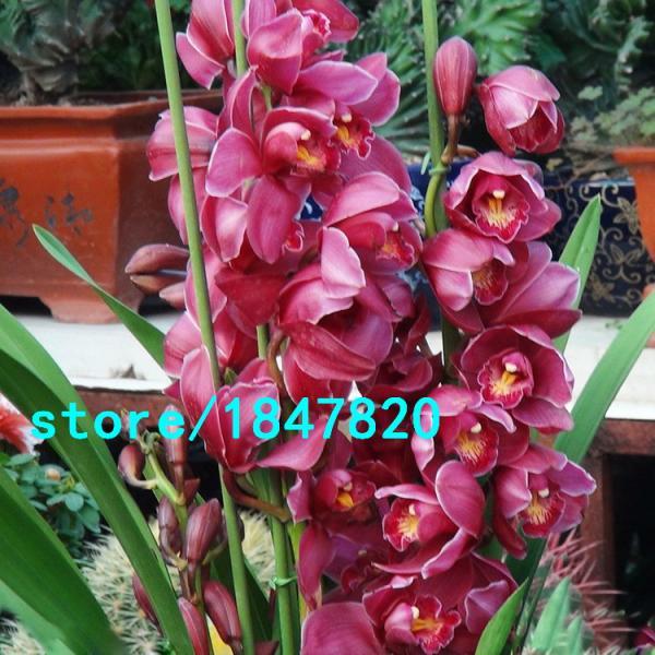 Орхидея Cymbidium 100шт.семена
