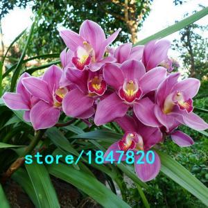 Фото  Орхидея Cymbidium 100шт.семена