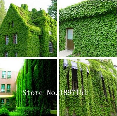 Зеленый Плющ фасадный 200шт. семена
