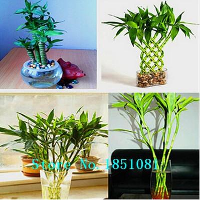 Бамбук giant moso 50шт.семена