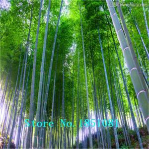 Фото  Бамбук giant moso 50шт.семена