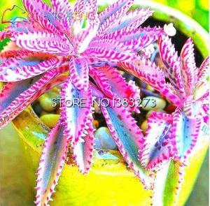 Фото  Экзотический каланхое 100шт. семена