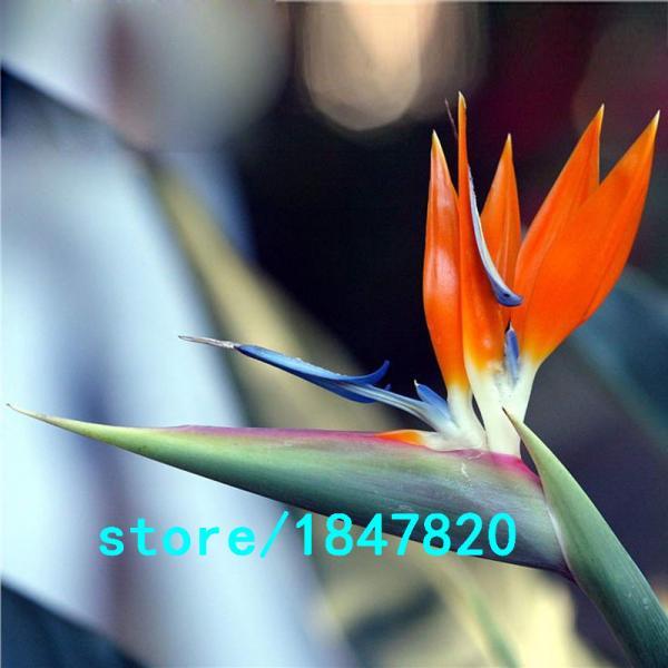 Райская птица 100шт.семена
