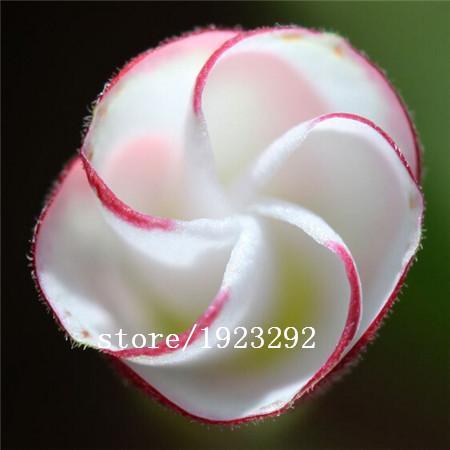 Шелковистая Кислица laciniata 100шт.семена
