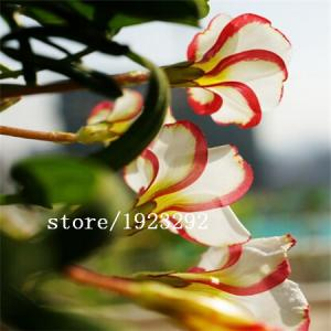 Фото Экзотические растения Шелковистая Кислица laciniata 100шт.семена