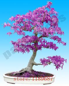 Фото Экзотические растения  Японский клен 20шт.семена