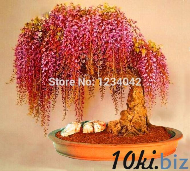 Золотая глициния 10шт.семена купить в Ровно - Саженцы декоративных деревьев и кустарников с ценами и фото