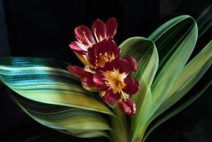Фото Экзотические растения Шоколадная кливия 10шт.семена