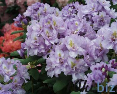 Fastuos Flore Pleno Садовые растения в России