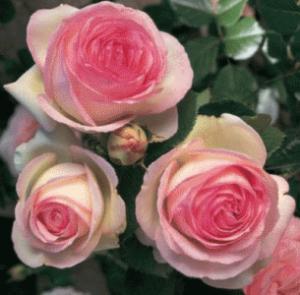 """Фото Розы селекции TANTAU, Германия Еden rose """"Эден Розе"""""""