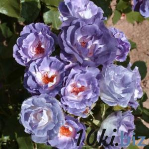 Blue for You Садовые растения в Москве