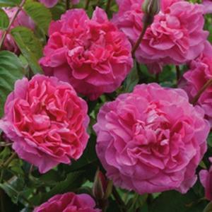 Фото Розы Селекции David Austin England's Rose
